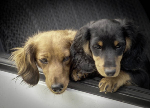 Photograph - Dachshunds by Samuel M Purvis III