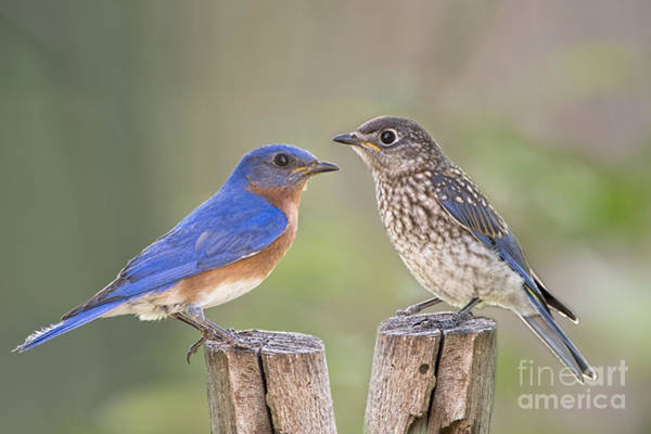 Wall Art - Photograph - Daddy Bluebird And Juvenile by Bonnie Barry