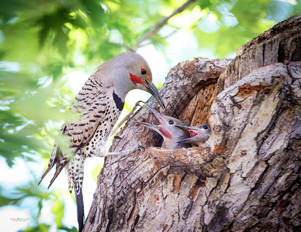Photograph - Daddy Flicker Feeding Babies by Judi Dressler