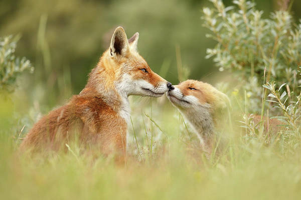 Cute Overload Photograph - Daddy's Girl - Red Fox Father And Its Young Fox Kit by Roeselien Raimond