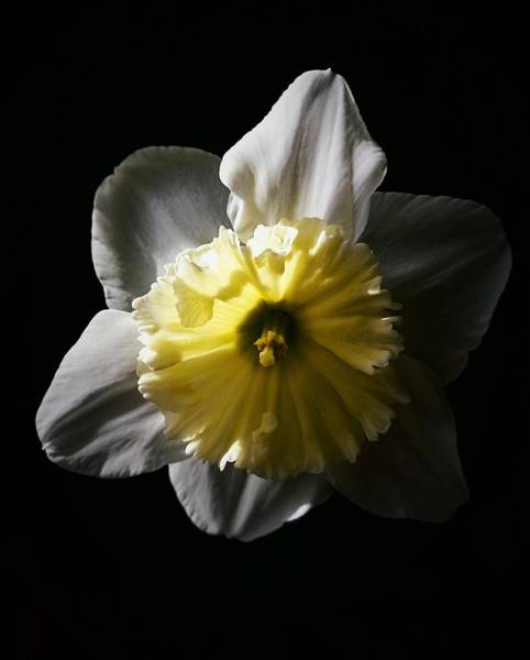 Photograph - Daffodil By Sunlight by Brad Hodges