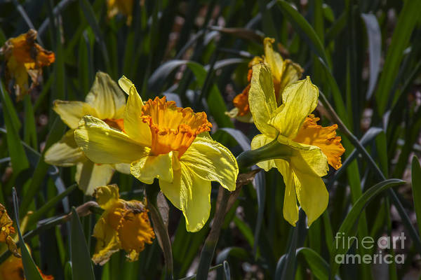 Photograph - Daffodil Duo by Barbara Bowen