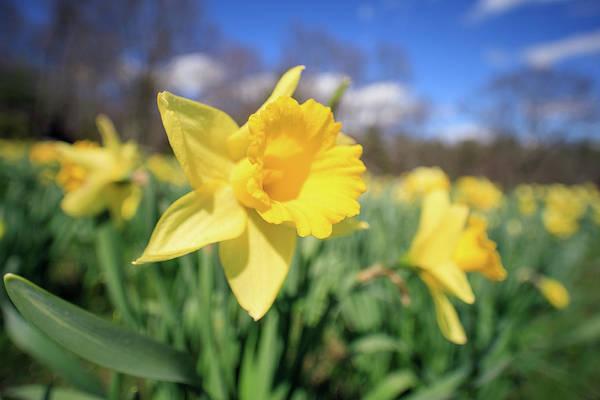 Photograph - Daffodil Field by Brian Hale