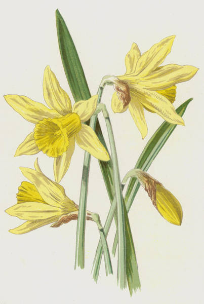 Daffodils Wall Art - Painting - Daffodil  by Frederick Edward Hulme