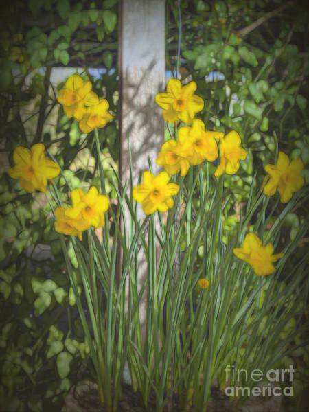 Photograph - Daffodil Glow by Elaine Teague