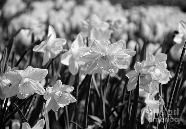 Black Narcissus Photograph - Daffodil Glow Monochrome By Kaye Menner by Kaye Menner