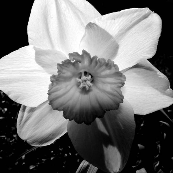 Photograph - Daffodil In Springtime by Michelle Calkins