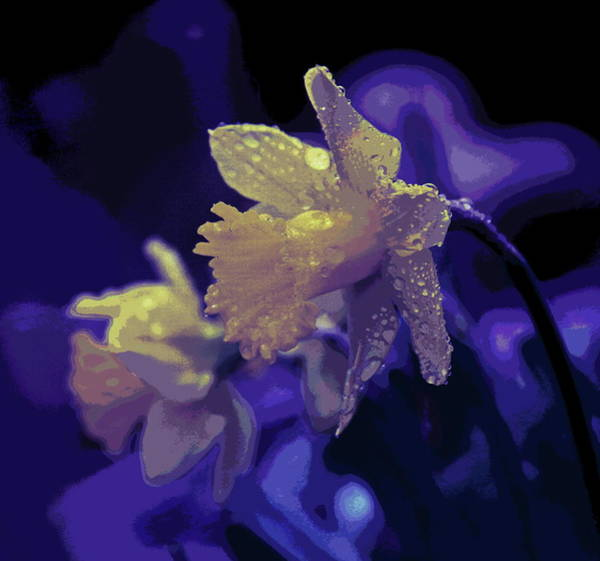 Dafodil Photograph - Daffodil Pair 5 by Cathy Lindsey