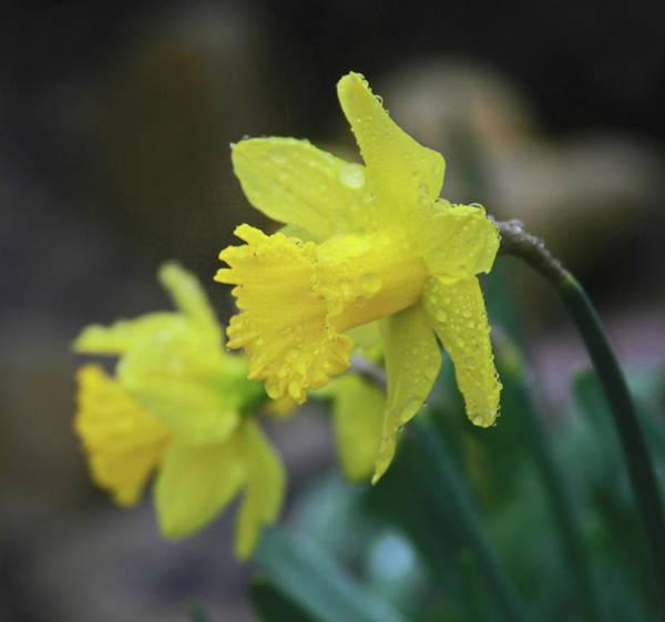 Dafodil Photograph - Daffodil Pair by Cathy Lindsey