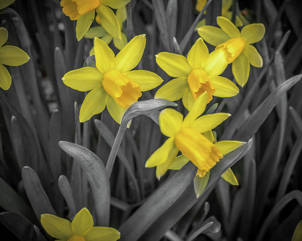 Photograph - Daffodil Pop by Keith Smith
