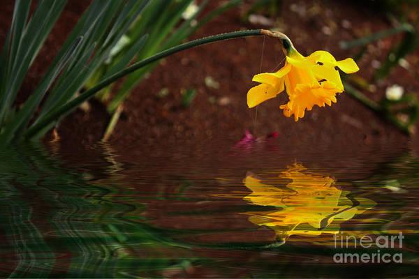 Photograph - Daffodil Reflection by Elaine Teague