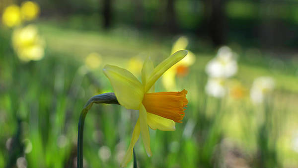 Photograph - Daffodil Side Profile by Keith Smith