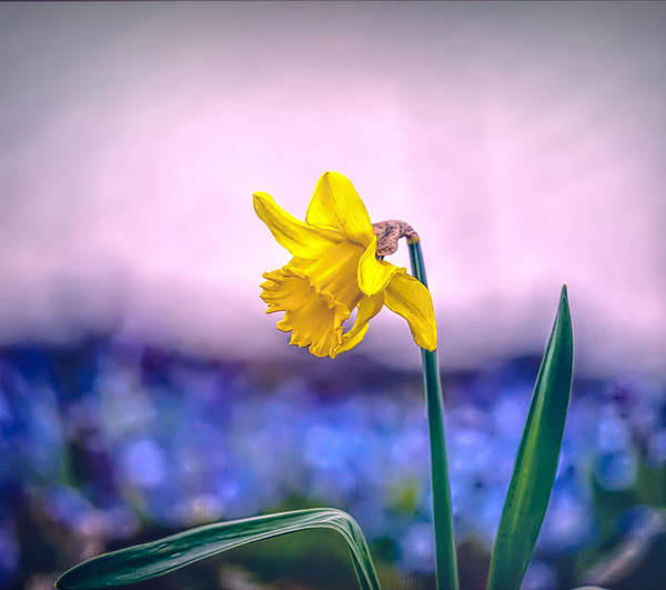 Photograph - Daffodil Spring 2016 by Leif Sohlman