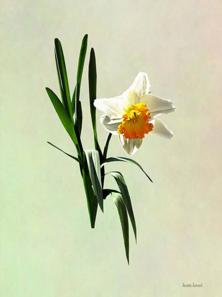 Photograph - Daffodil Taking A Bow by Susan Savad