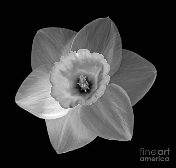 Black Narcissus Photograph - Daffodil by Tony Cordoza