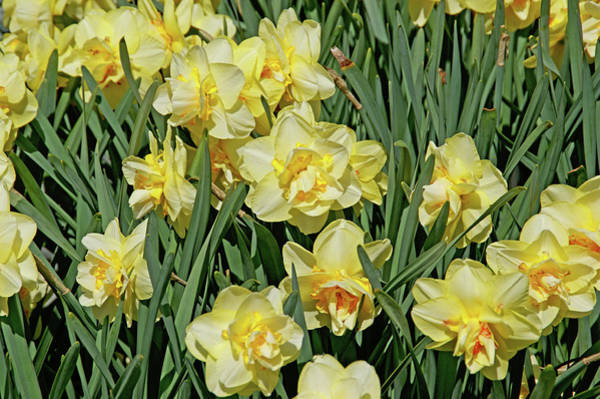 Photograph - Daffodilia by Lynda Lehmann