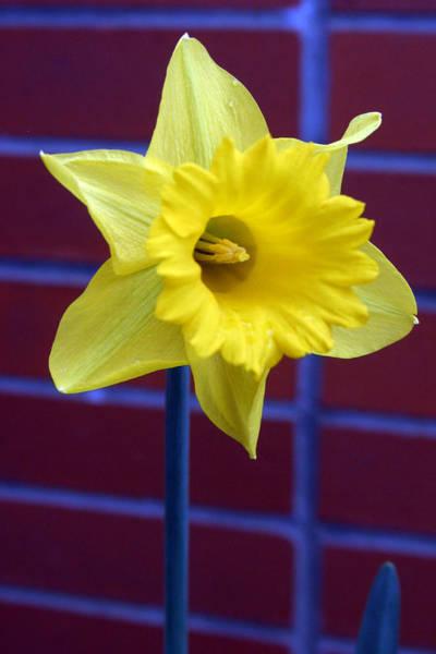 Dafodil Photograph - Daffodilly by Jez C Self