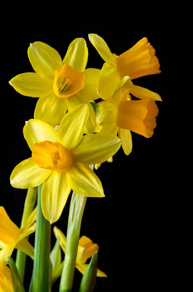 Dafodil Photograph - Daffodils Against Black by Bruce Hamms