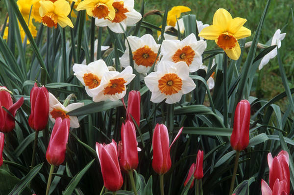 Wall Art - Photograph - Daffodils And Tulips by Jerry Shulman