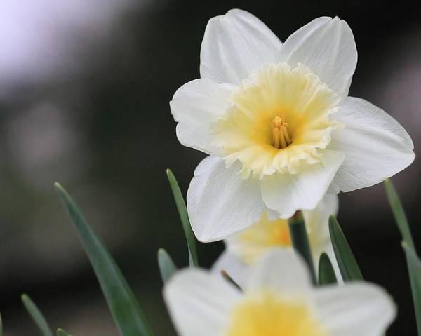 Photograph - Daffodils  by Angela Murdock
