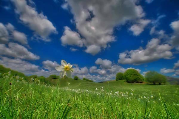 Photograph - Daffodils Blossimg At Cavalla Plains 2017 V - Fioritura Dei Narcisi Al Pian Della Cavalla 2017 by Enrico Pelos