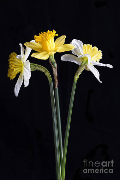 Wall Art - Photograph - Daffodils by Elena Nosyreva