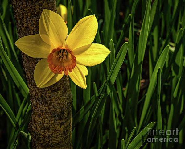 Hillside Wall Art - Photograph - Daffodils by Elijah Knight
