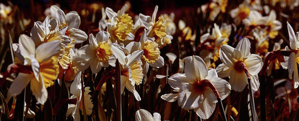 Photograph - Daffodils #f8 by Leif Sohlman