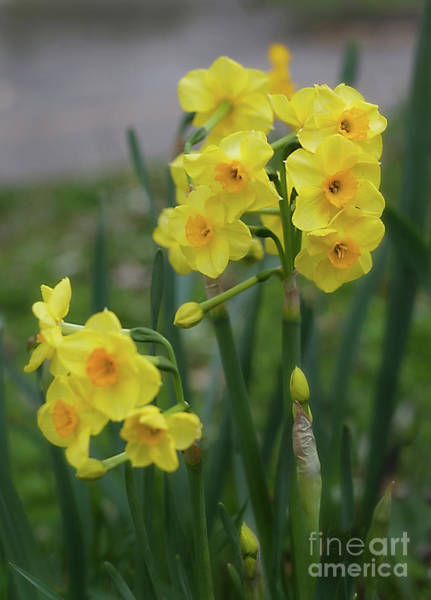 Photograph - Daffodils In The Garden by Ann Jacobson