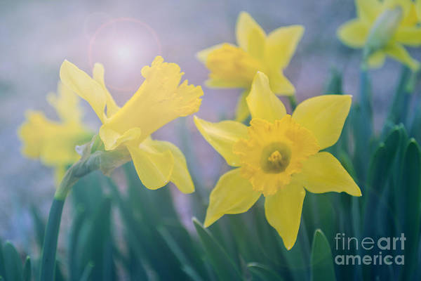 Photograph - Daffodils In The Morning by Rima Biswas