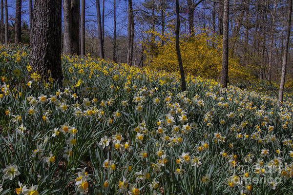 Photograph - Daffodils On A Hill by Barbara Bowen