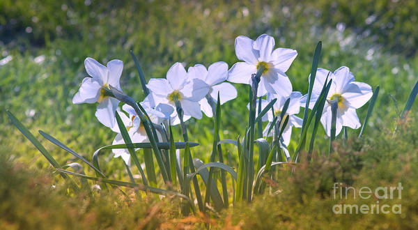 Photograph - Daffodils by Rima Biswas