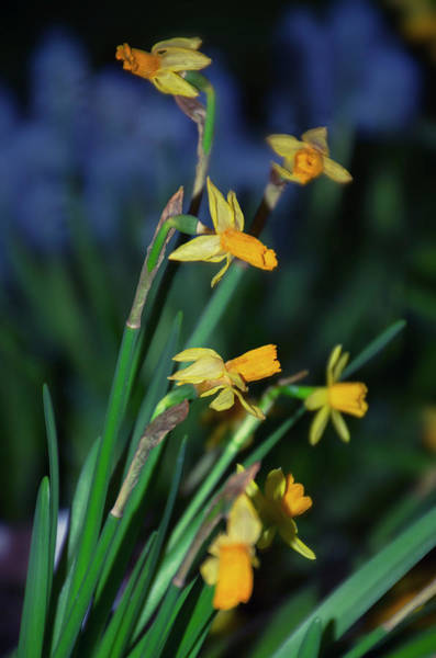 Photograph - Dafodils by Bill Cannon