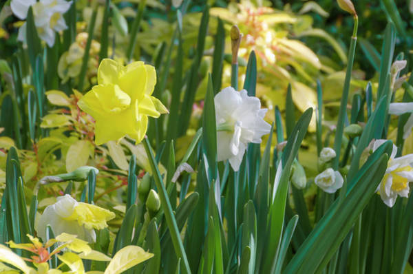 Photograph - Dafodils In The Garden by Bill Cannon