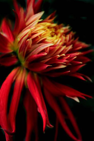 Photograph - Dahlia Ablaze by Jessica Jenney