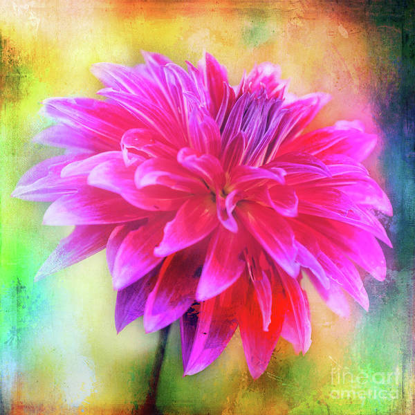 Photograph - Dahlia Abstract by Anita Pollak