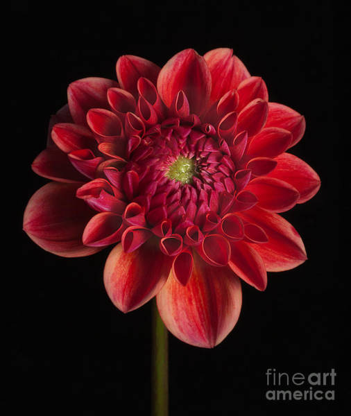 Photograph - Dahlia 'all That Jazz' by Ann Jacobson