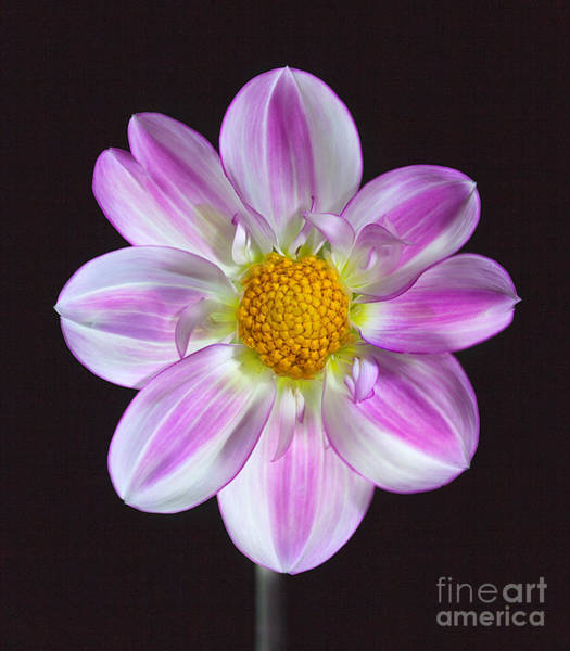 Photograph - Dahlia 'apopa Sky' by Ann Jacobson