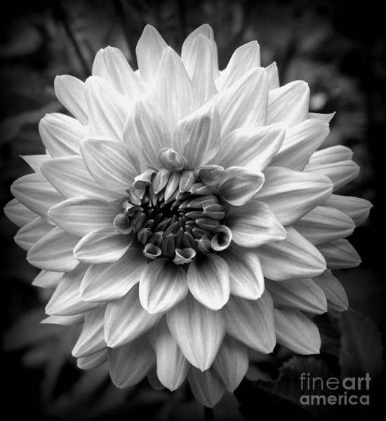 Photograph - Dahlia Art by Jeni Gray