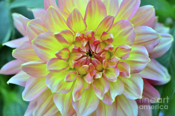 Wall Art - Photograph -  Dahlia Brilliance by Debby Pueschel
