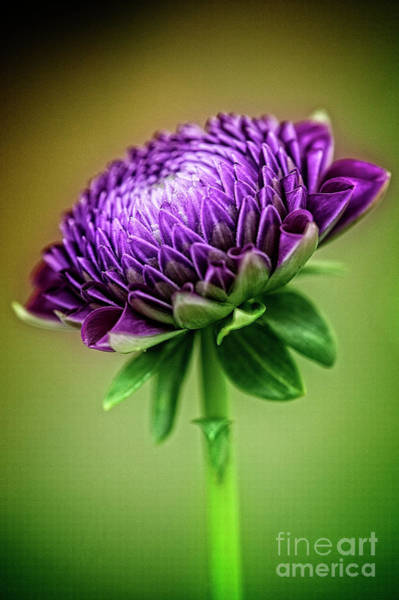 Photograph - Dahlia Bud by Scott Kemper