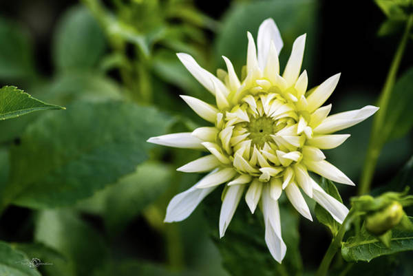 Photograph - Dahlia Cactus Tall White by Torbjorn Swenelius