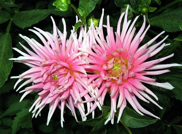 Flawless Photograph - Dahlia Duo by Will Borden