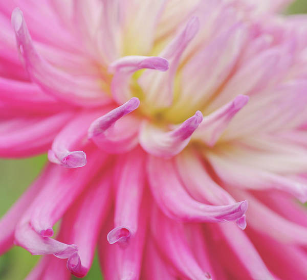 Photograph - Dahlia Fingers  by Diane Fifield
