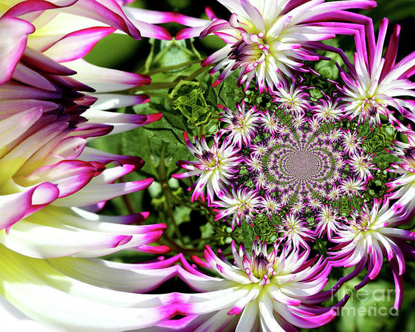 Photograph - Dahlia Flower Abstract by Smilin Eyes  Treasures