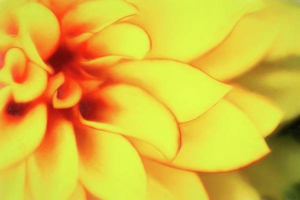 Dahlias Photograph - Dahlia Flower Abstract by Tom Mc Nemar