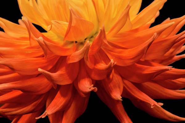 Photograph - Dahlia Flower Closeup by Randall Nyhof