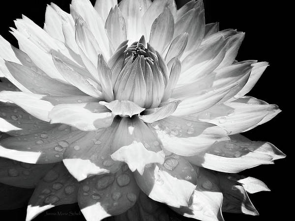 Wall Art - Photograph - Dahlia Flower Raindrops Monochrome by Jennie Marie Schell