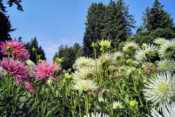 Photograph - Dahlia Garden 1 by Lawrence Christopher
