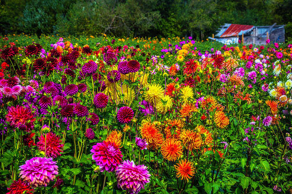 Dahlias Photograph - Dahlia Garden Oregon by Garry Gay